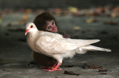 macaque and dove
