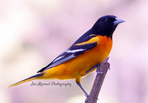 How To Attract Birds to Your Backyard - Baltimore Oriole