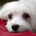 Maltese Dog Breed Health Problems