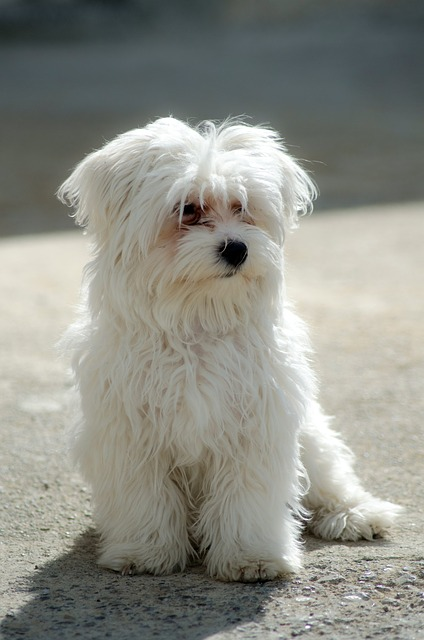 Maltese Dog Breed Health Problems Animal Bliss