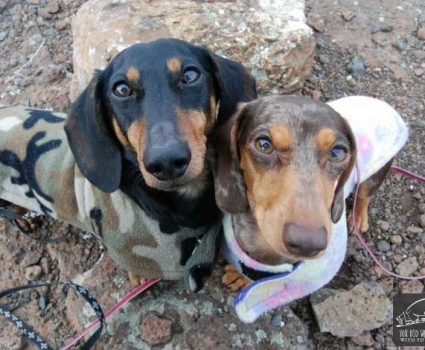 The Truth About Dachshunds aka Wiener Dogs