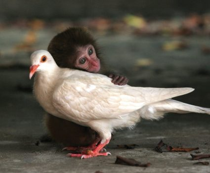 This macaque and dove lived together in an animal protection center off the coast China. They ate, played and slept together for two months, before being released into the wild.