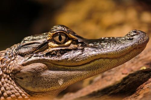 Cruel Inhumane Slaughter of Alligators for Fashion