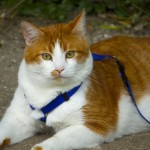 How to Teach Your Cat to Walk on a Leash