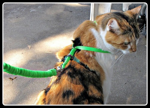 Can You Really Teach Your Cat to Walk on a Leash?