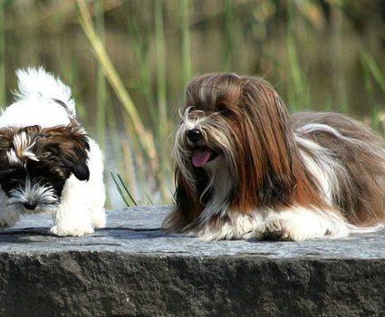 Havanese Dog Breeds : Lots of Personality