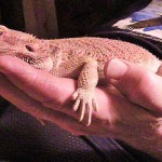 Joys of Raising a Bearded Dragon #ReptileCare