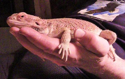 Shirley the Bearded Dragon