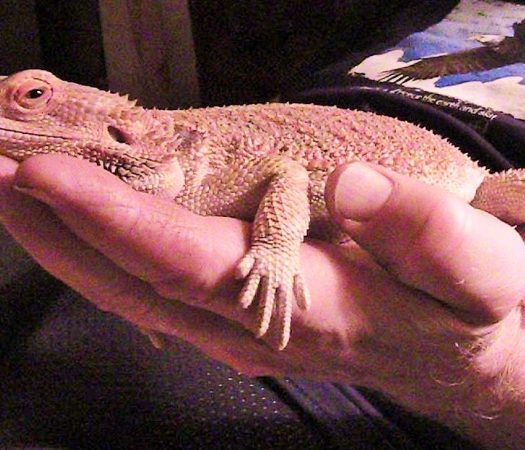 Shirley the Bearded Dragon