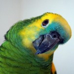 Birdie Come Home, an Obnoxious Amazon Parrot