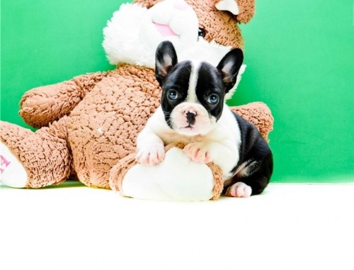Mixed Dog Breeds - Frenchton