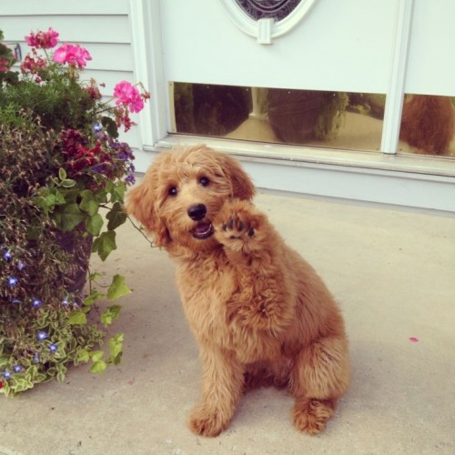Mixed Dog Breeds, Miniature GoldenDoodle