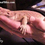 Your Bearded Dragon is Gravid – Now What?