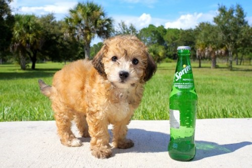 Mixed Dog Breeds, Yorkiepoo