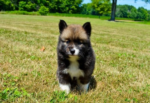 Mixed Dog Breeds, Pomsky