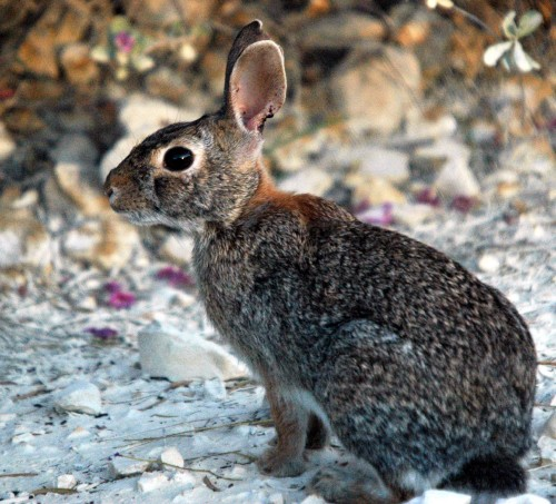 Rabbit Cottontail