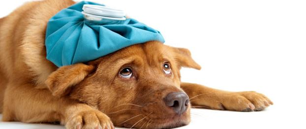 Sick as a dog warning signs your pooch is sick animal bliss Can a dog tell if another dog is sick