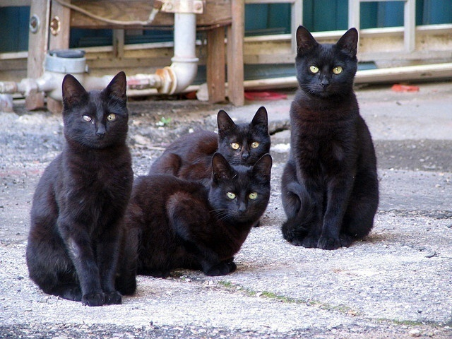 Owning A Black Cat Superstitions