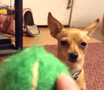 Learn how to train any dog to fetch.