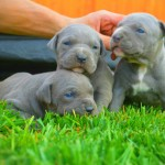 Experience A Loving Pitbull and Never Discriminate Again