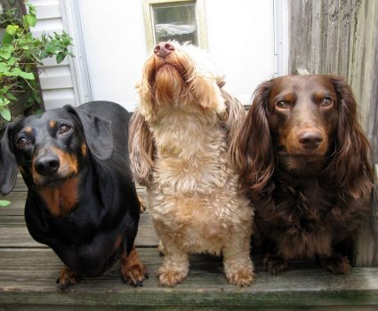 Choosing a Dog Breed - If you're thinking about getting a dog, then you should first take some things into consideration in choosing a dog breed that best suits your needs.