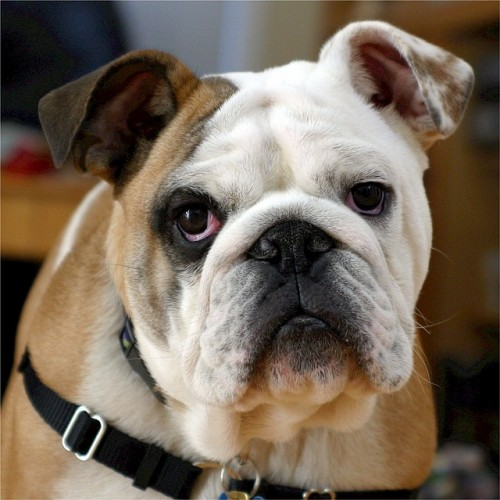 Most Expensive Dog Breeds, English Bulldog