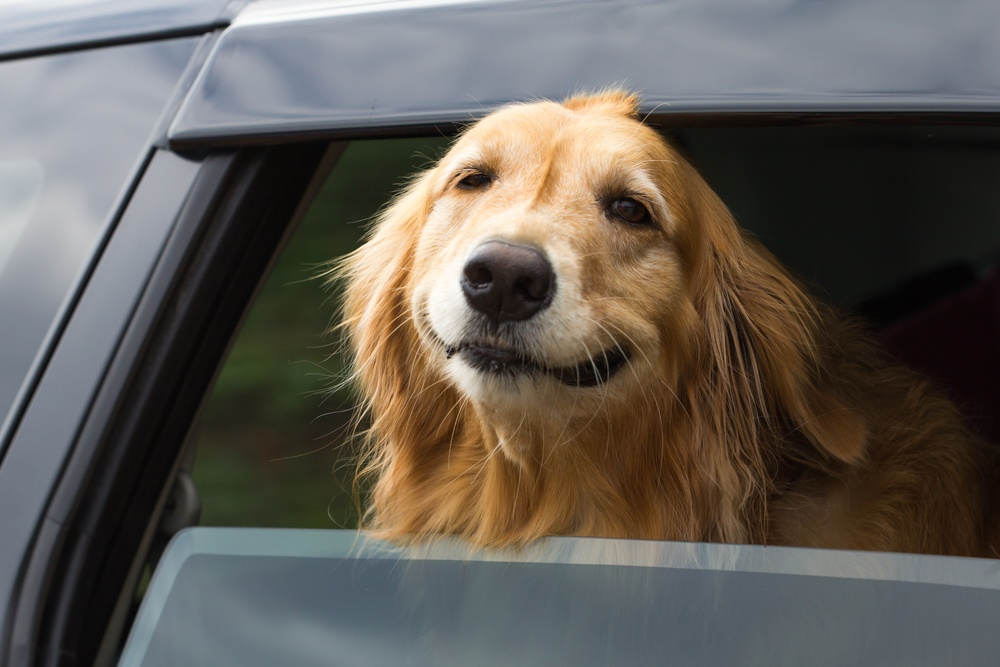 Riding in Cars with Dogs can be tricky business. Find out ways to keep yourself and your pet safe when you need to take your dogs in the car with you.
