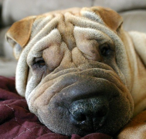Most Expensive Dog Breeds, Shar Pei