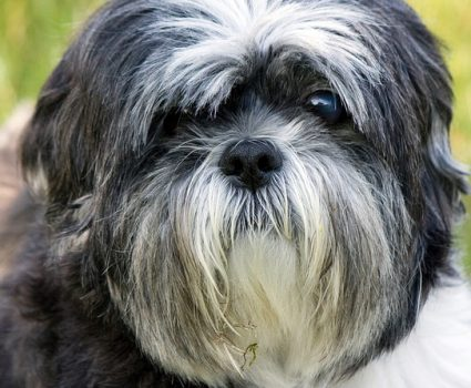 Most Expensive Dog Breeds, Shih Tzu