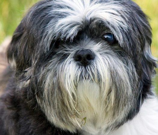 Most Expensive Dog Breeds, Shih Tzu