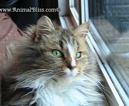 Meet Maisy the Cat, Maine Coon breed