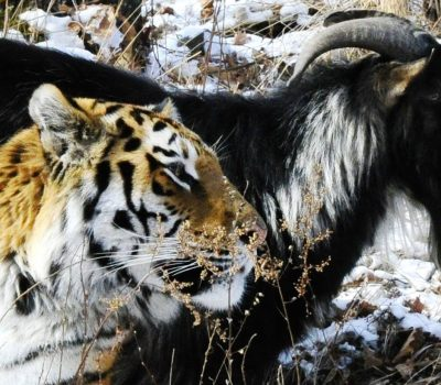 Goat and Tiger Become Unlikely Friends : UPDATE