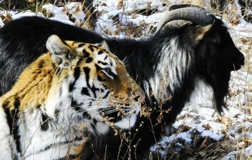 Goat and tiger become unlikely friends