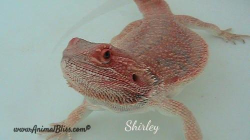 Bearded Dragon Hydration During Brumation