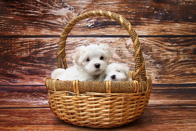 Knowing how to choose a puppy is important, with many questions that need answering.