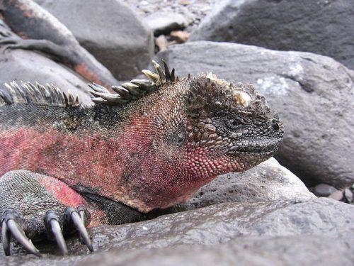 Marine_iguana_red