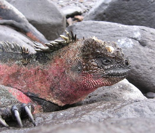 Marine Iguanas of the Galapagos