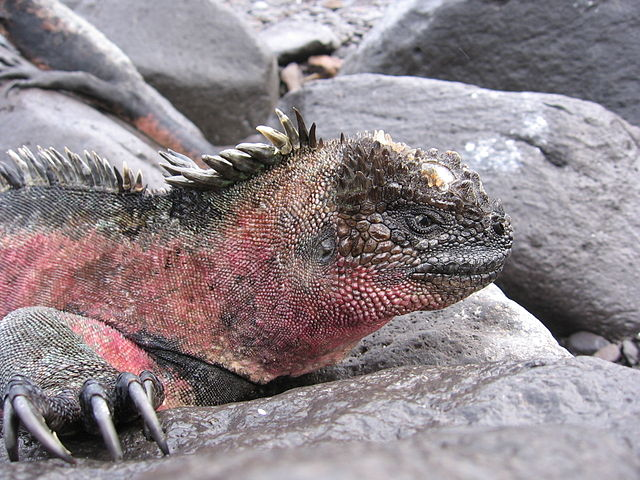 Marine Iguanas of the Galapagos