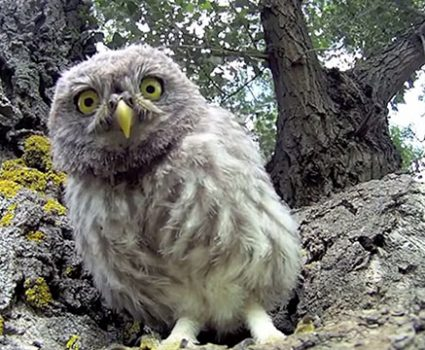 3 Baby Owls and a GoPro Camera, What Fun!