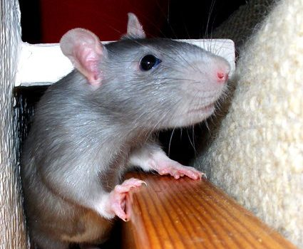 Cutest Pet Rats, American Blue Rat