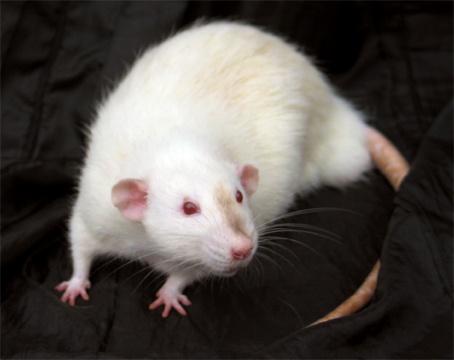 Cutest Pet Rats You've Ever Seen, Dumbo Rat