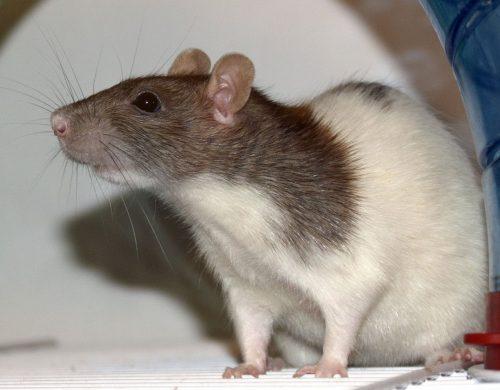 Cutest Pet Rats You've Ever Seen, Domestic Hooded Rat