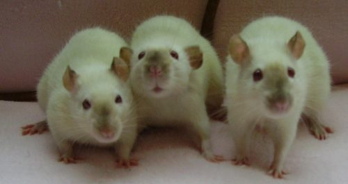 Cutest Pet Rats You've Ever Seen, Siamese Rats, Himalayan Rats