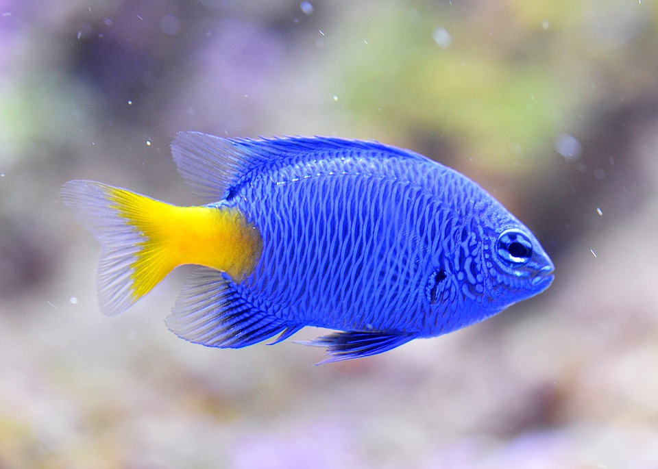 Getting everything you need for an aquarium animal bliss for Blue freshwater fish