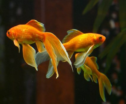 All about Goldfish (Facts and Pet Care)