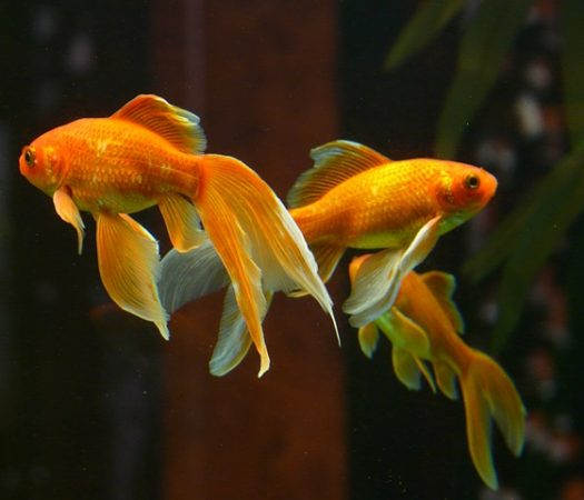 All About Goldfish