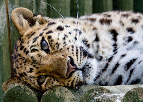 Amur Leopard - www.animalbliss.com
