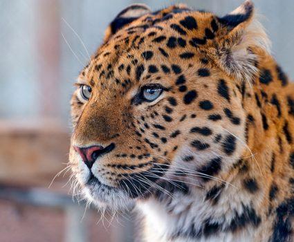 Wildlife Preservation, Amur Leopard