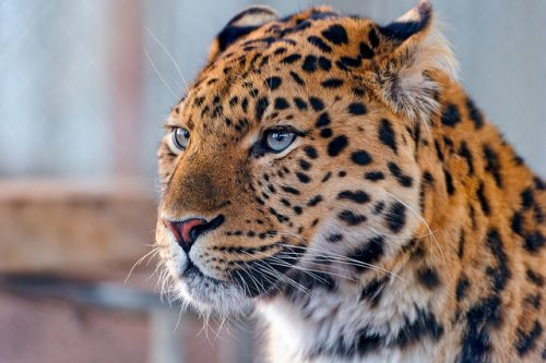 Wildlife Preservation, Amur Leopard
