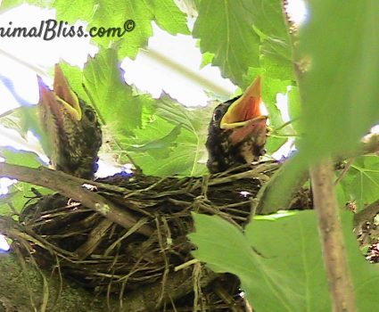 Baby Robins in My Backyard